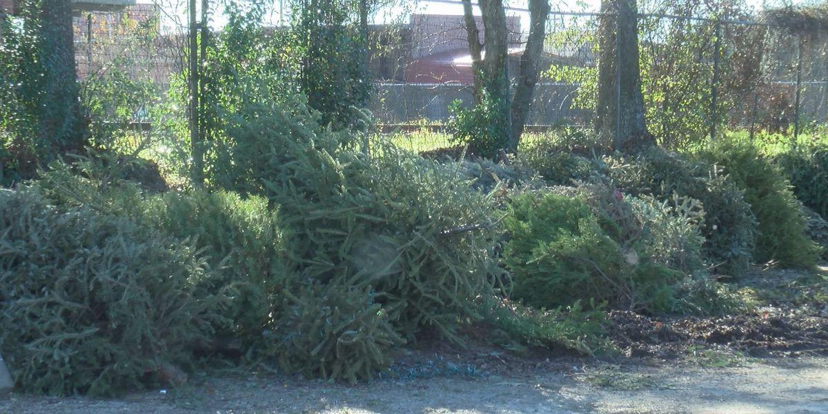 Free Christmas tree recycling