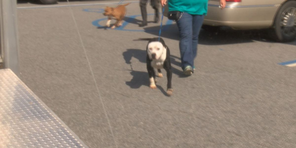Confiscated fighting dogs enroute to rehab