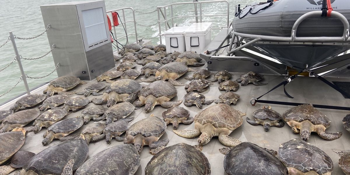 Texas Game Wardens rescue cold stunned sea turtles