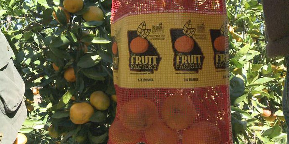South Ga. citrus farm thrives in cool weather