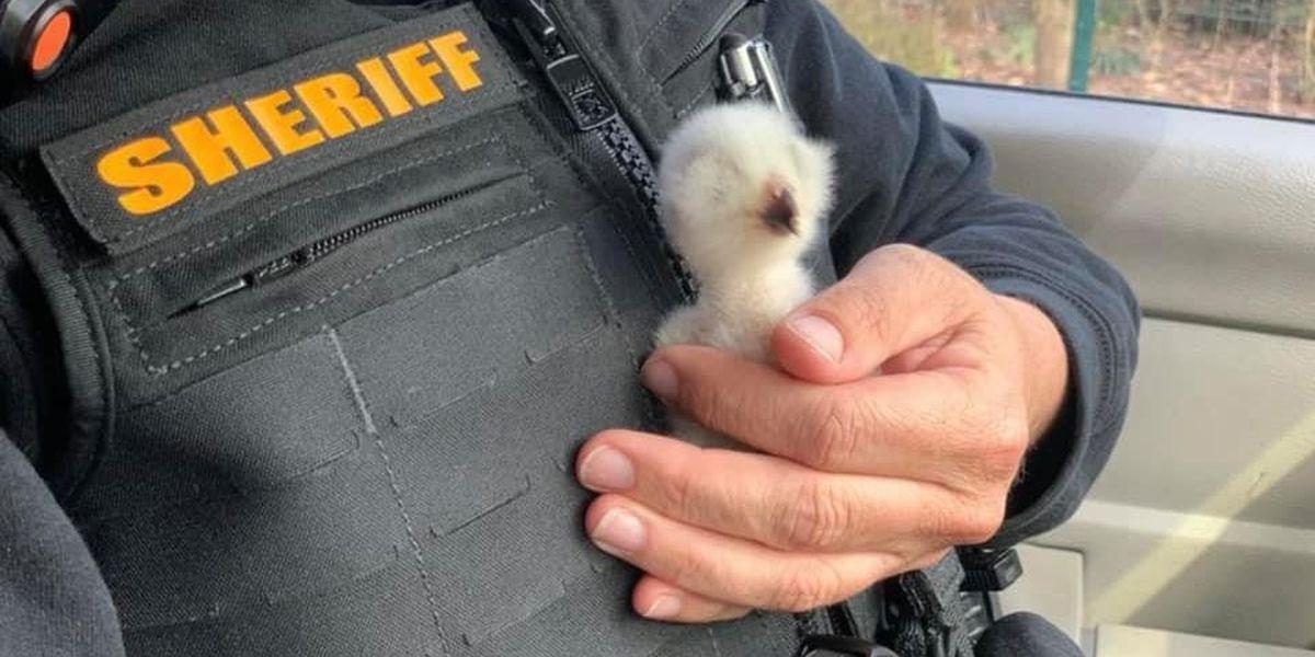 North Carolina deputies help rescue baby owl