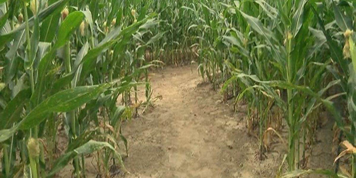 Corn maze brings activities to Mark's Melon Patch