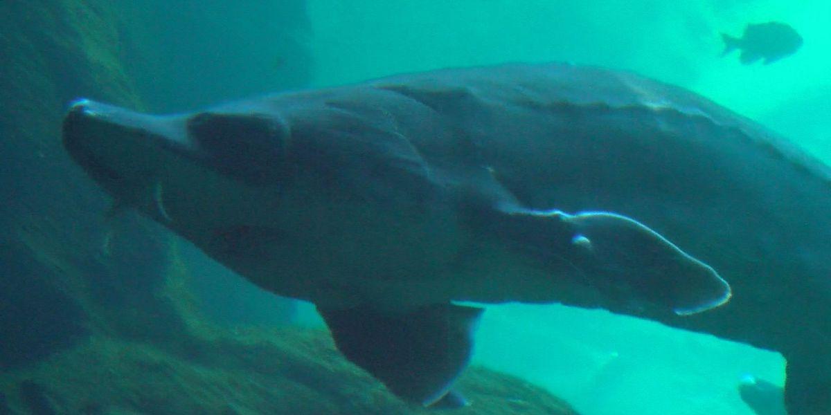 New Sturgeons added to Flint RiverQuarium exhibit