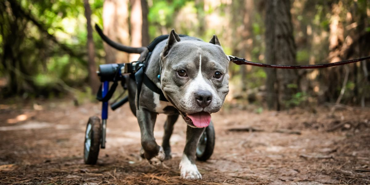 Paralyzed Georgia dog named cover dog in global calendar contest