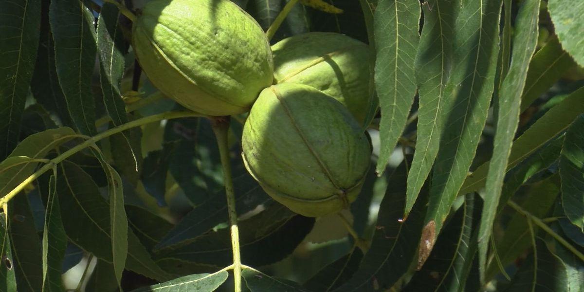 China tariff worries Georgia pecan farmers