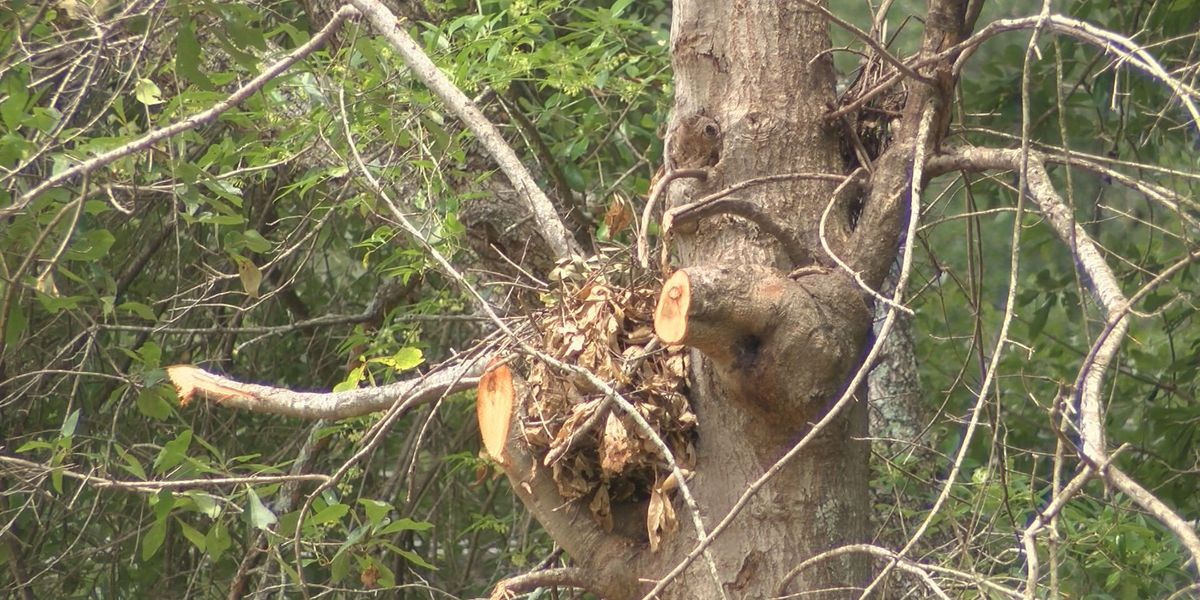 Woman says tree trimming on property excessive