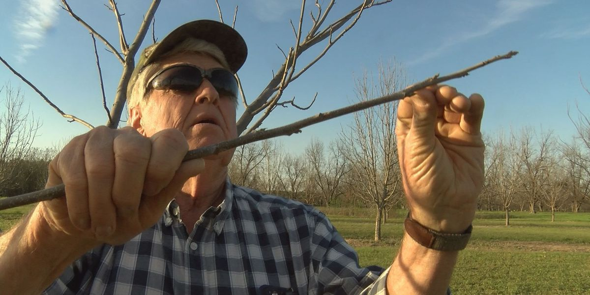 Pecan growers concerned about winter warm spells