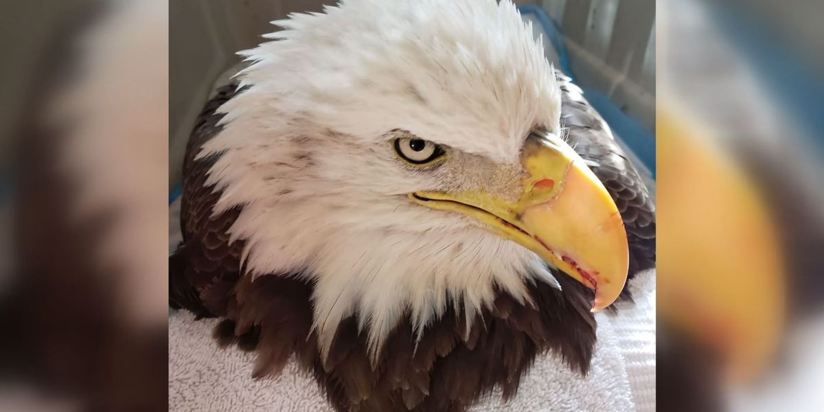 Injured bald eagle euthanized after community steps up to help save her