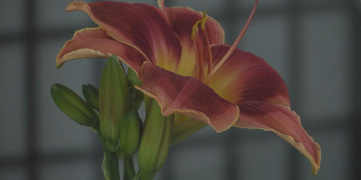34th Annual Daylily Show brightens Albany Mall