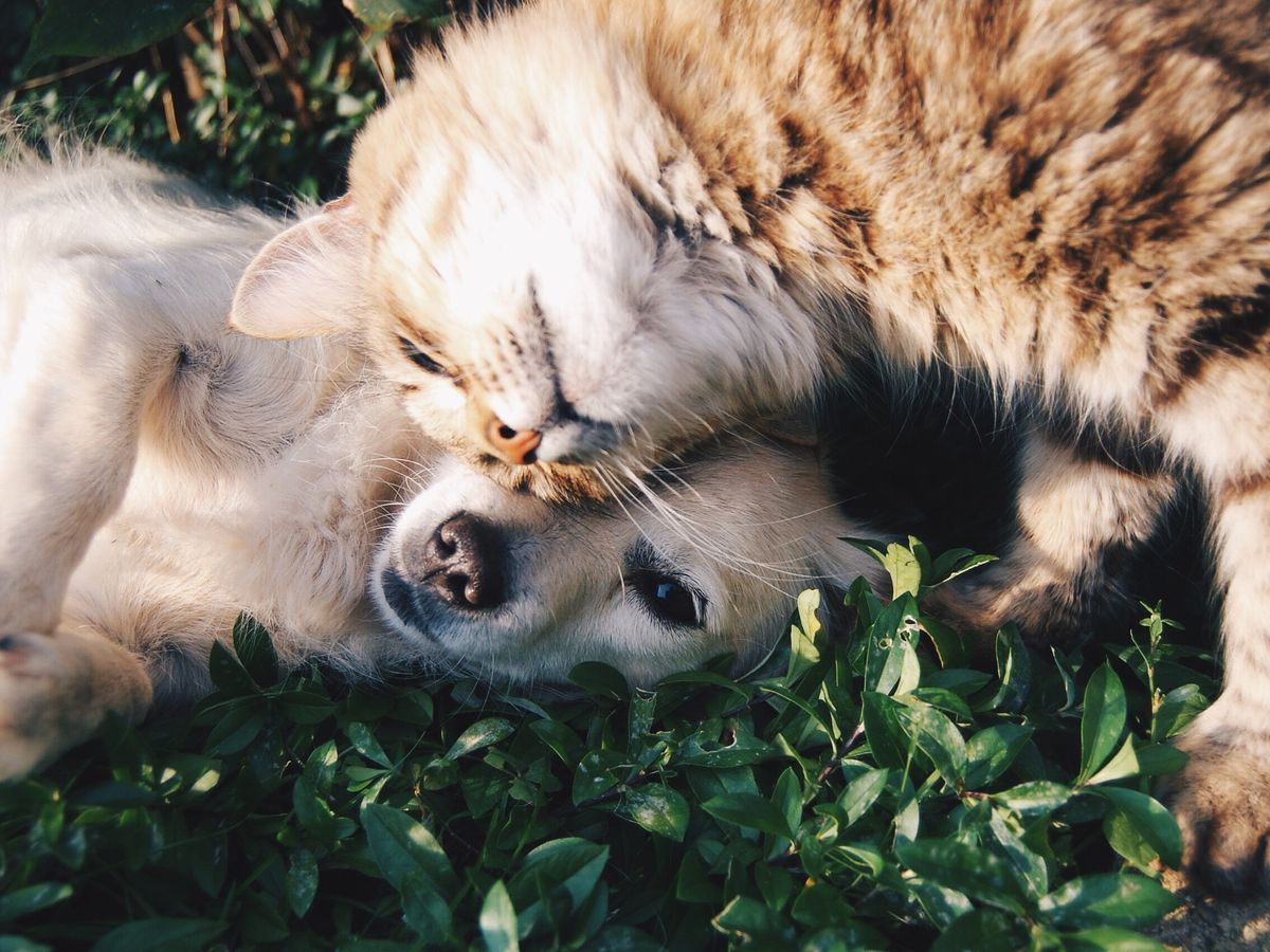 Study says dogs and cats can contract COVID-19 from humans