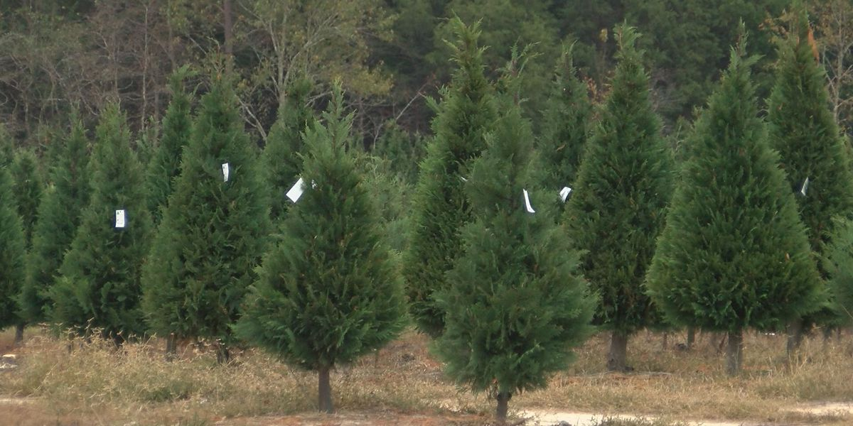 Americus firefighters spray Christmas trees for fire protection