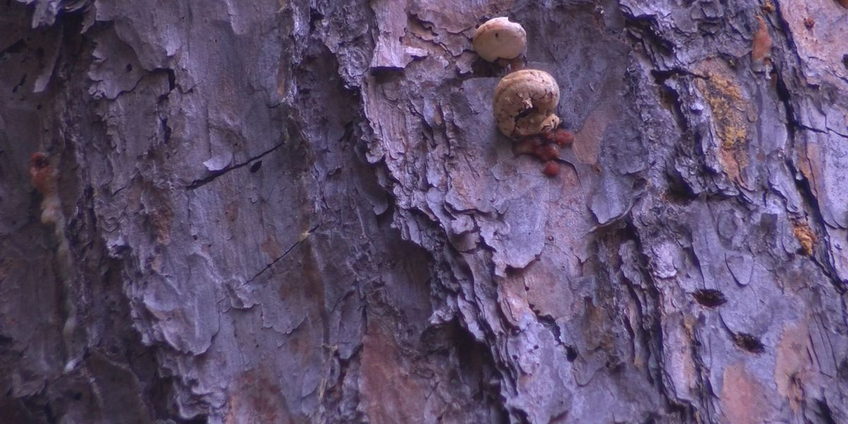 Pine beetles threaten Georgia trees
