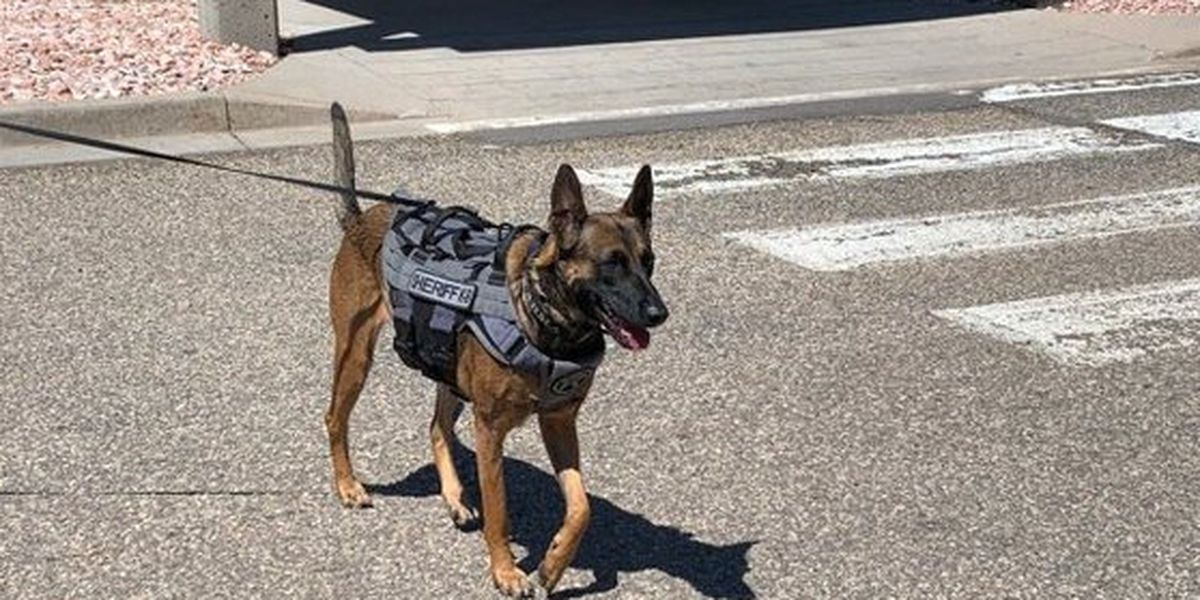 Abandoned dog is now K-9 cop, sniffing for explosives