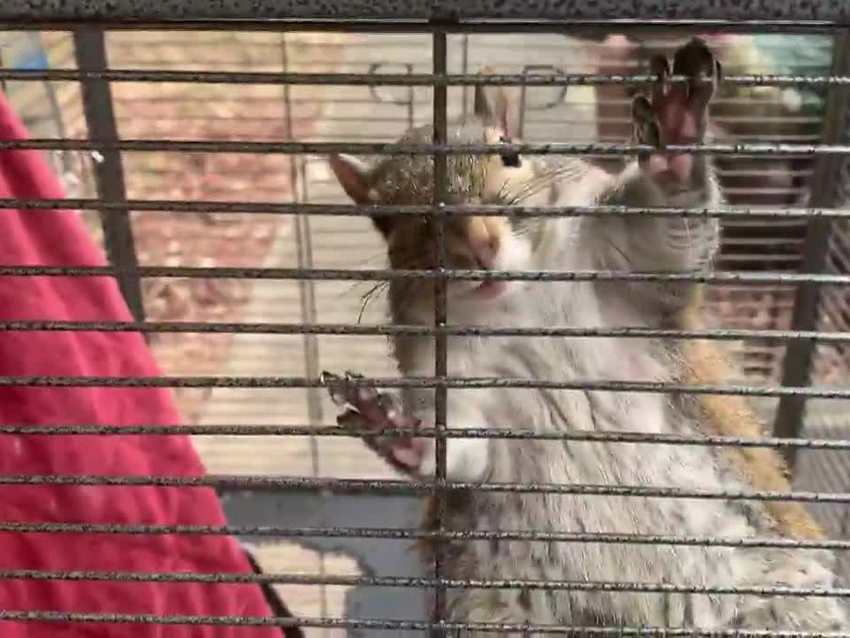 'Attack squirrel' rescued in north Alabama meth bust
