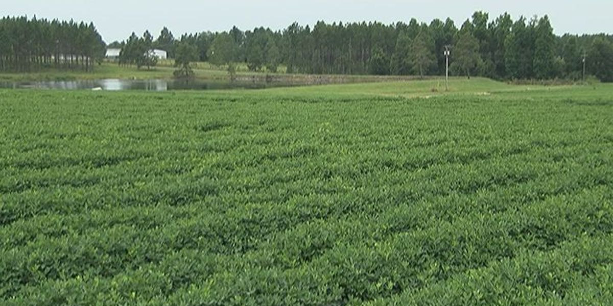 Georgia peanuts in great supply for 2015