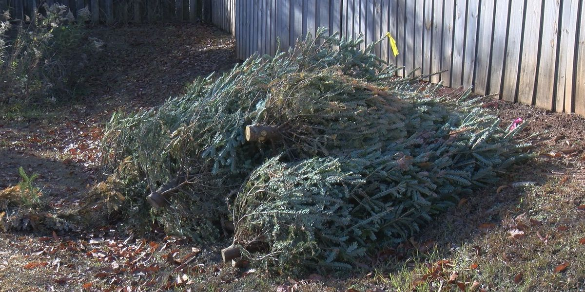 The fate of Christmas trees after the holidays
