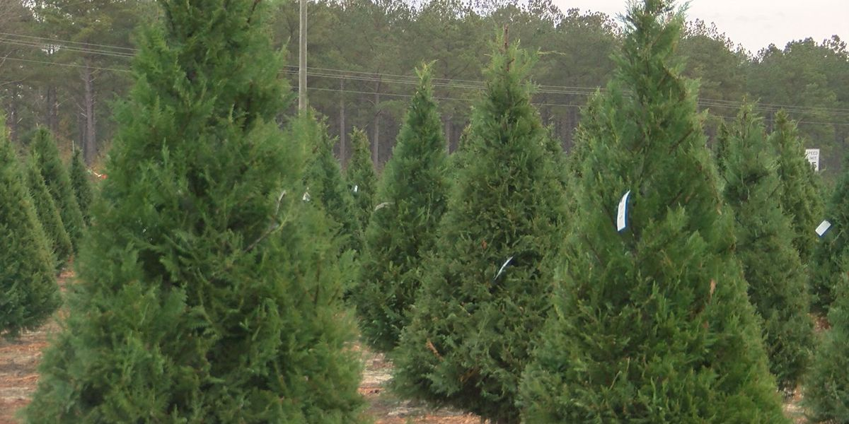 Lee Co. Christmas tree farm prepares for busy weekend