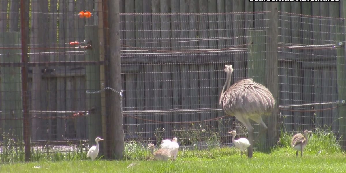 Wild Adventures celebrates Greater Rhea animals on Fathers Day