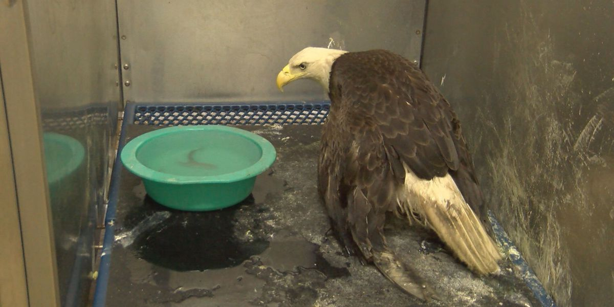 South Georgia injured eagle gets help