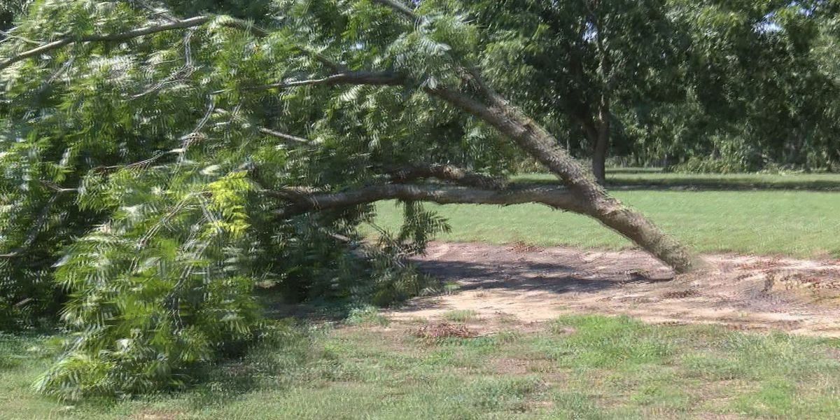 Thomas County pecan farm cleans up after Hermine
