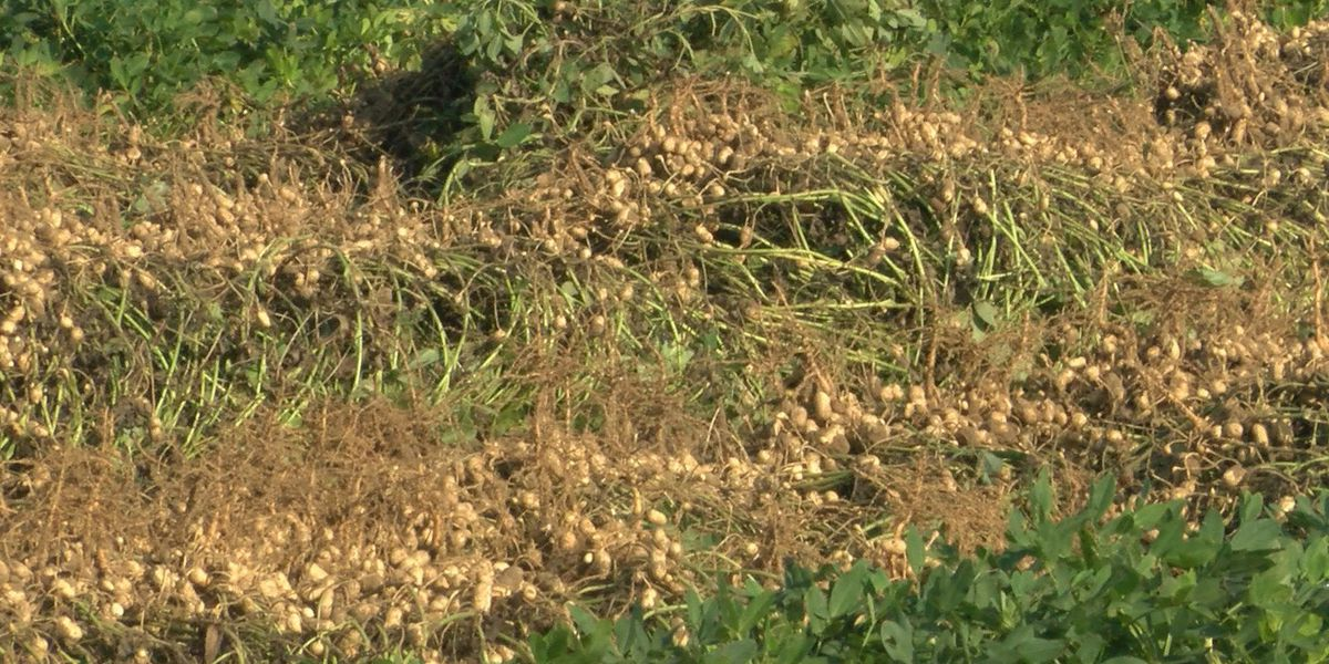 Strong peanut yield expected to boost rural economy