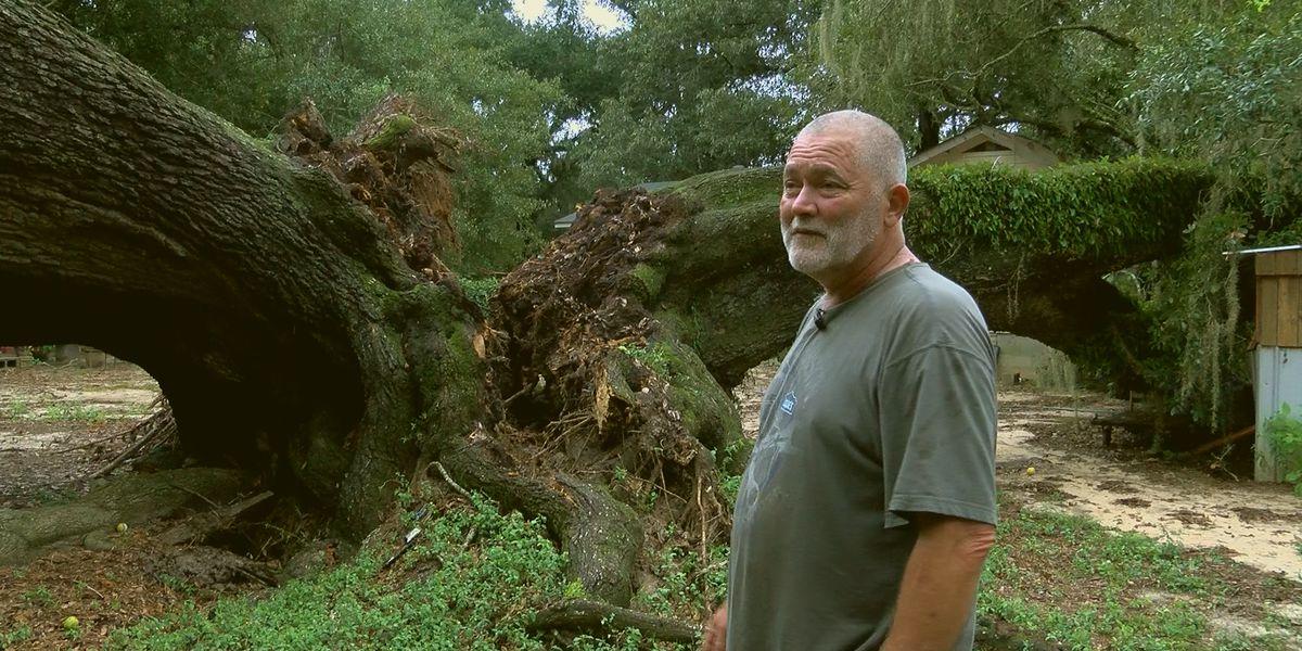 Hurricane Sally wrecks giant oak tree, disturbs pet peacock