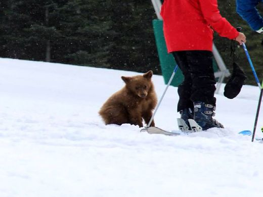Cute bear cub makes friends with snowboarders - here's why it's a bad thing