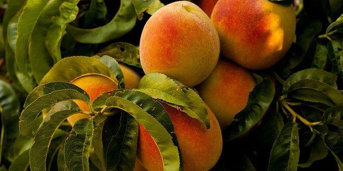 Georgia's peach crop expected to be better than last year's