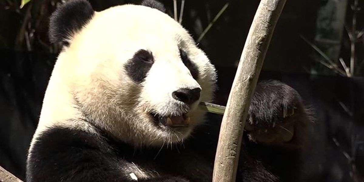 San Diego Zoo moving its last two pandas back to China