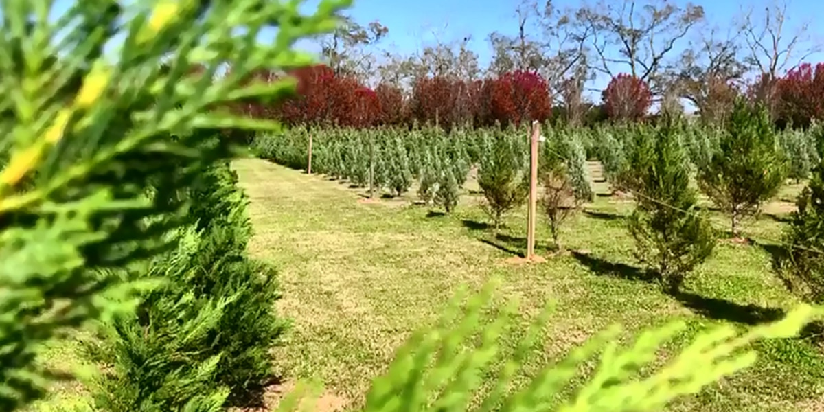 New choose-and-cut Christmas tree farm opens in Cairo