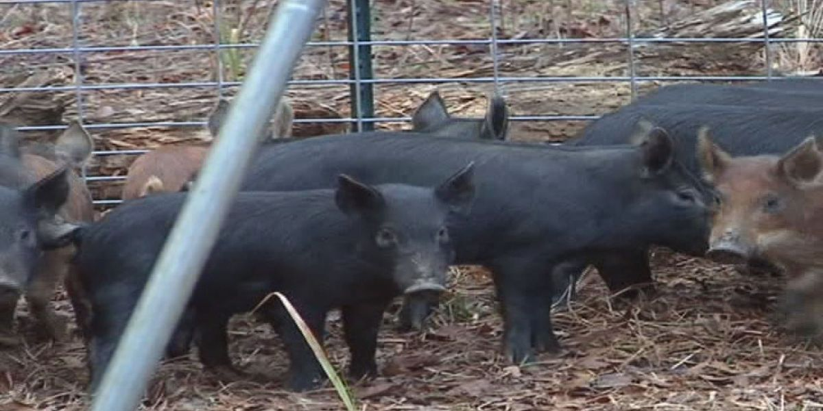 Officials warn hunters about diseases carried by wild hogs