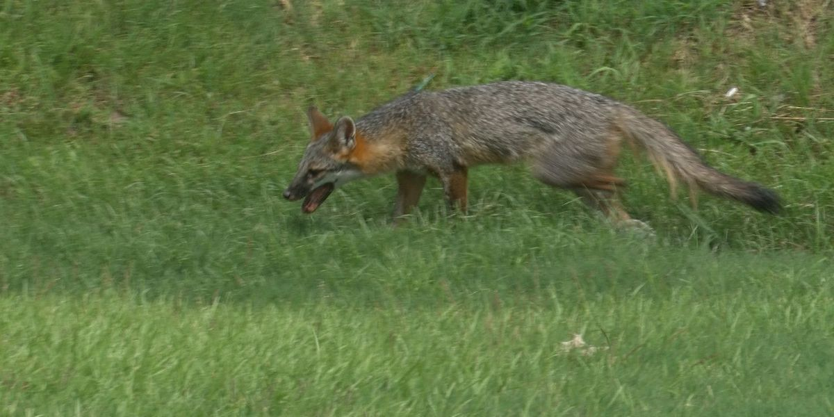 Thomas Co. fox positive for rabies