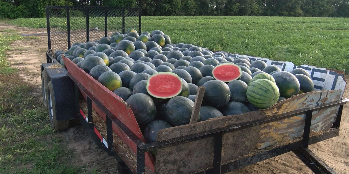 Watermelon harvest offers wide variety in sweet melons