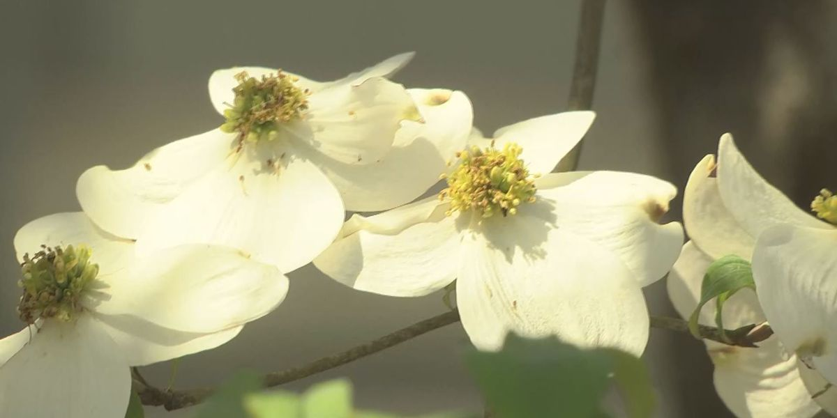 Dogwoods decline in parts of Georgia