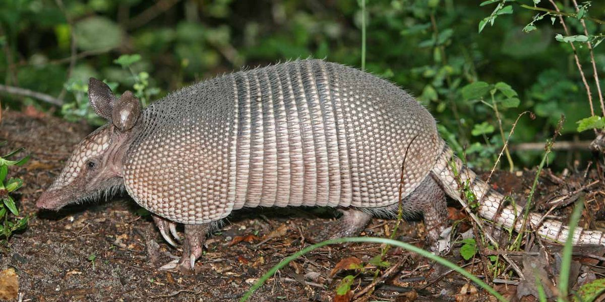 Man shoots at armadillo, bullet hits mother-in-law