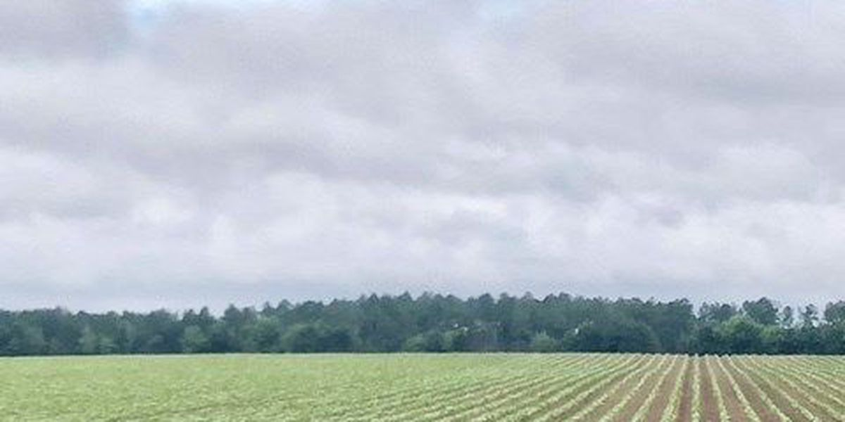 SWGA farmers struggle to keep crops healthy through wet weather