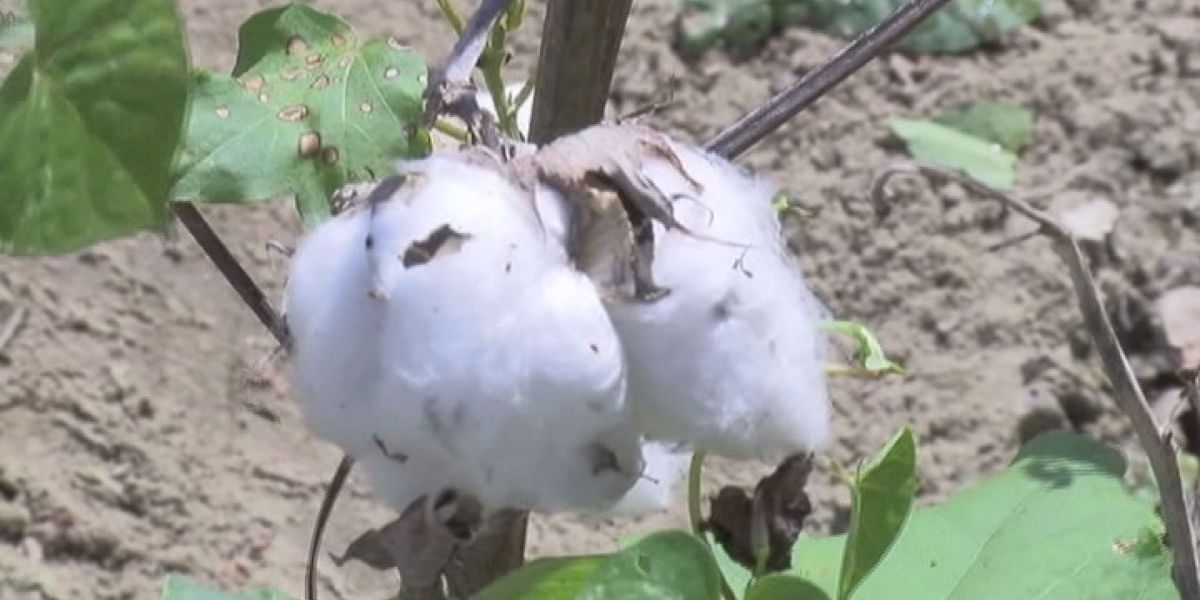 Cotton crops damaged from tropical storm Irma