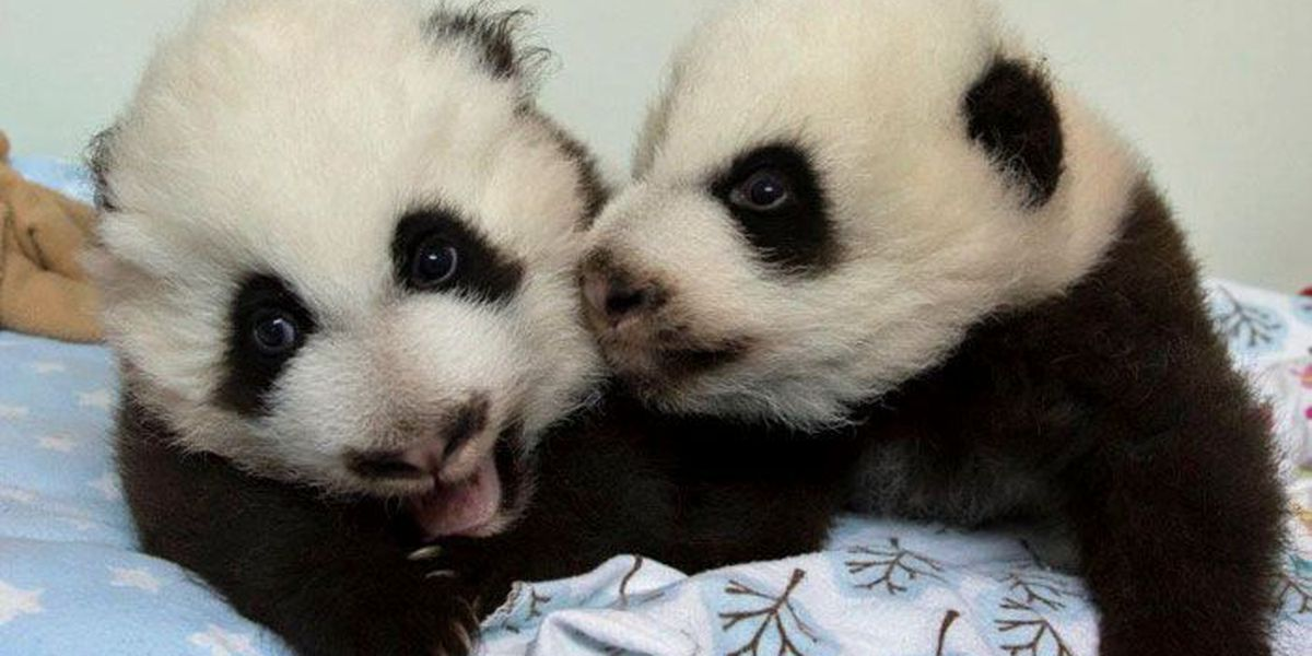 Public to vote on names for Atlanta zoo's twin panda cubs
