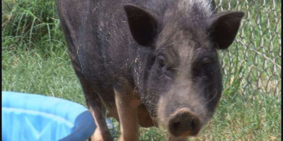 'Barbie' the pig can't find way home