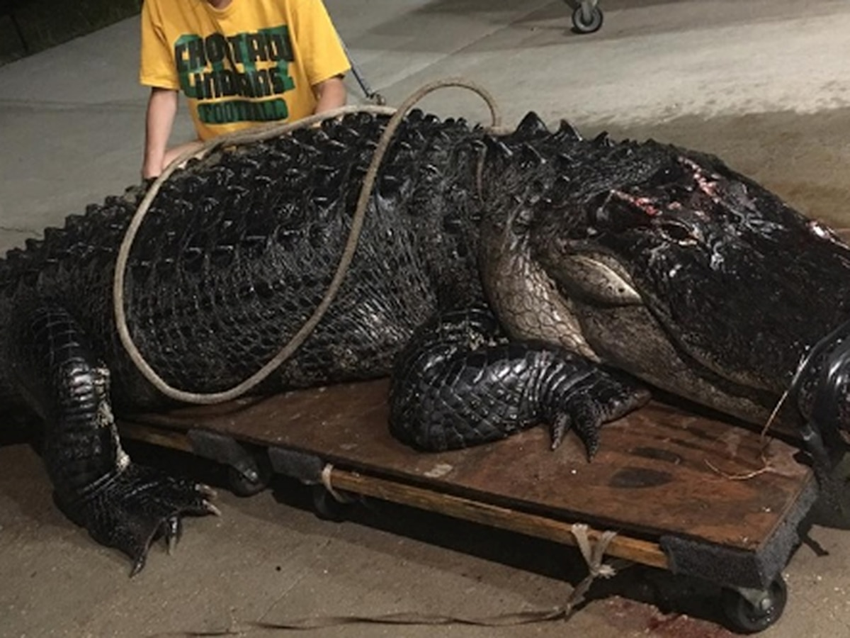 12-foot gator that had been hit by truck captured on Florida interstate