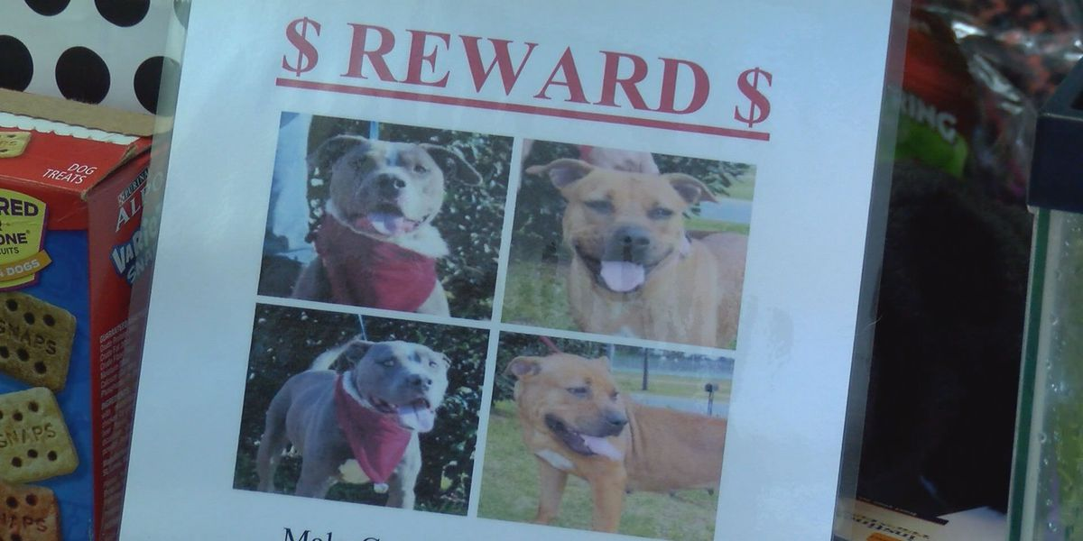 Two pit-bulls are stolen from animal shelter