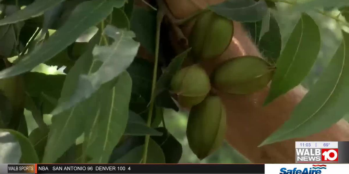 Ga. reclaims top spot in pecan production, Kemp declares pecan official state nut