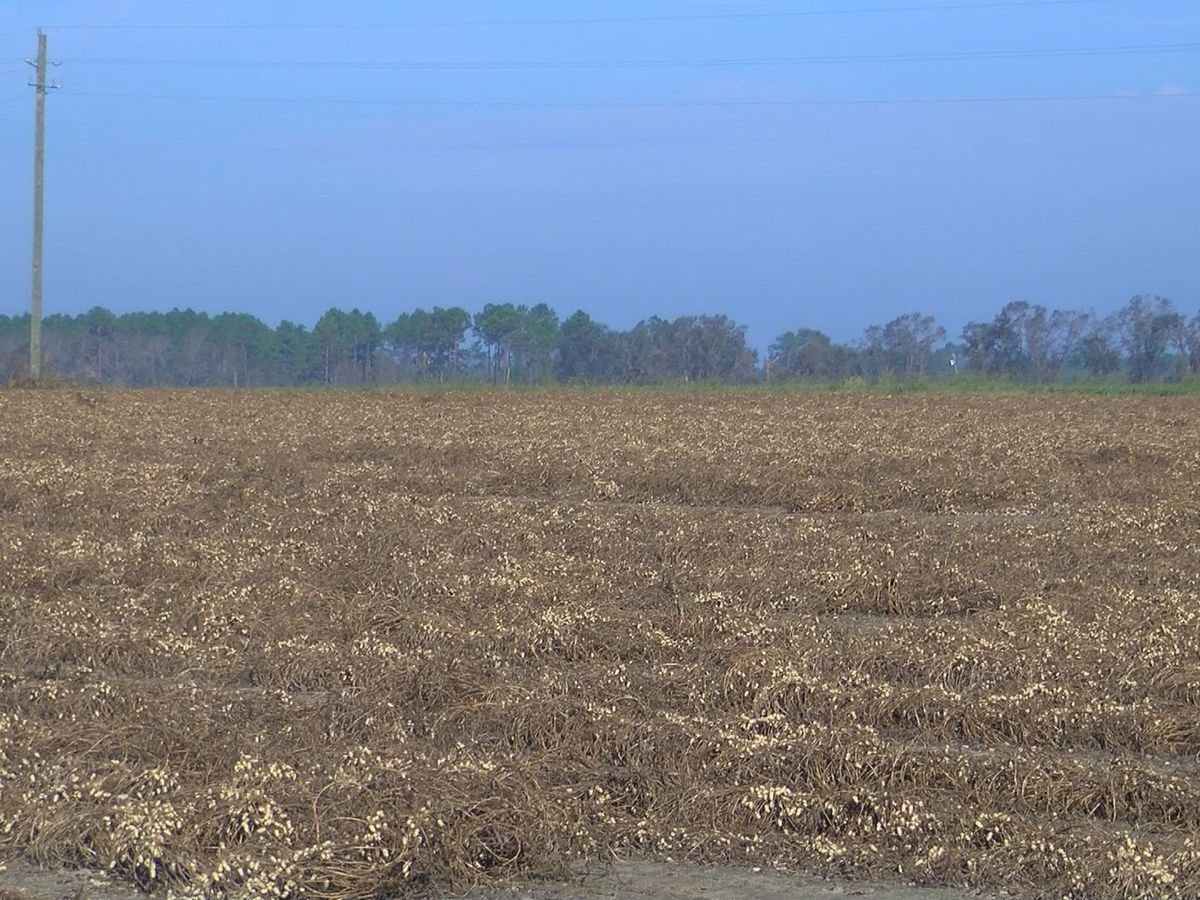 Peanut farmers heartbroken for loss of yield
