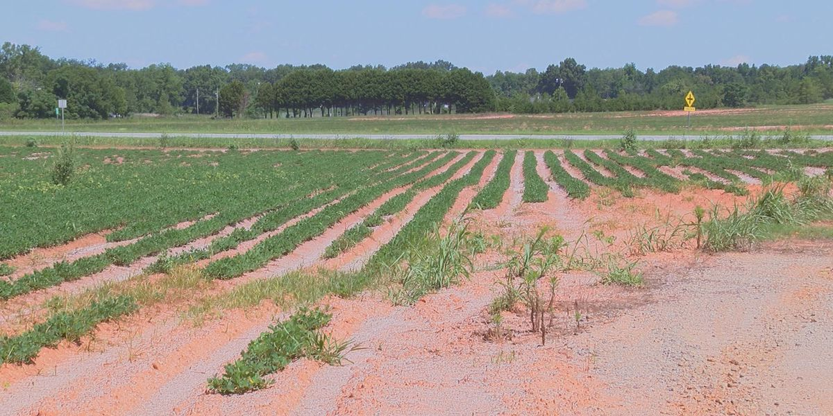 Dry-land crops may be lost without rain
