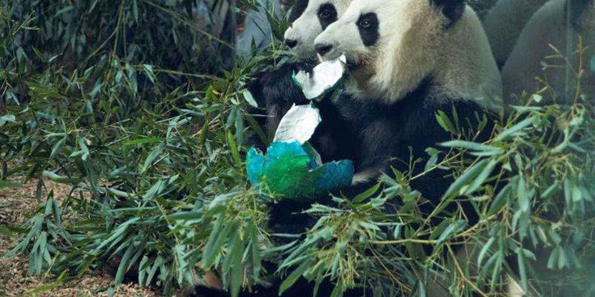 Zoo Atlanta pandas enroute to China