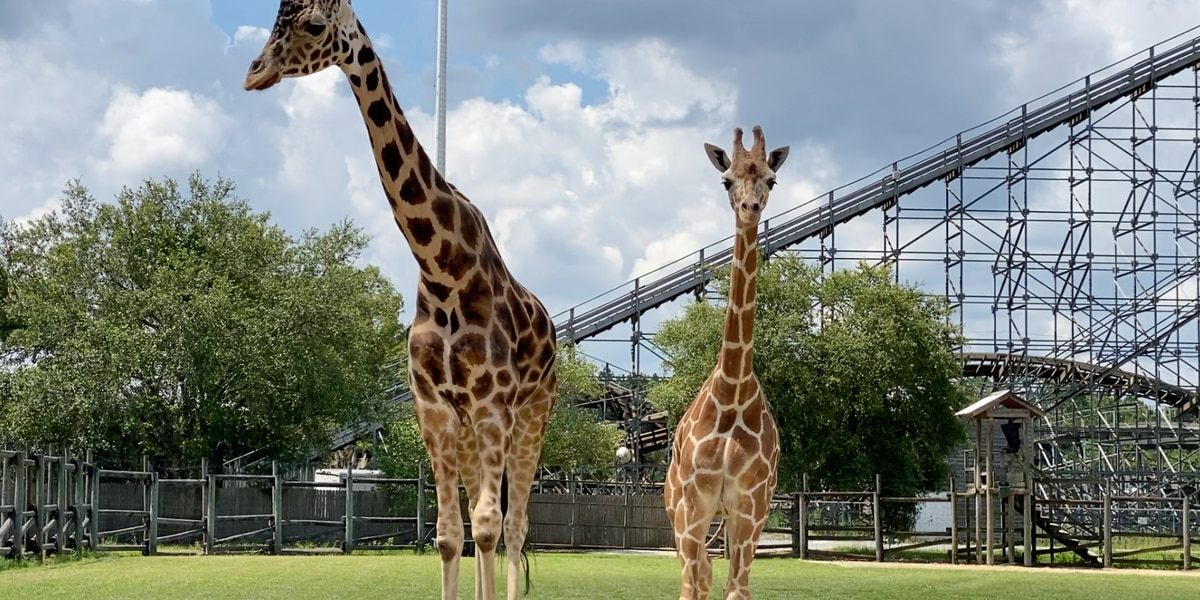 Wild Adventures welcomes new giraffe and prepares for reopening