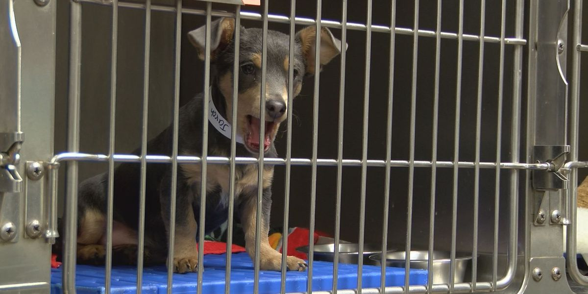 Proposed bill would regulate dog & cat sales at GA pet stores