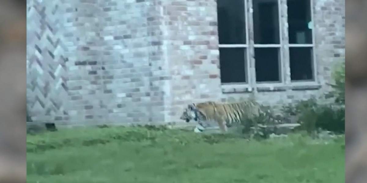 Police hunt murder suspect's pet tiger