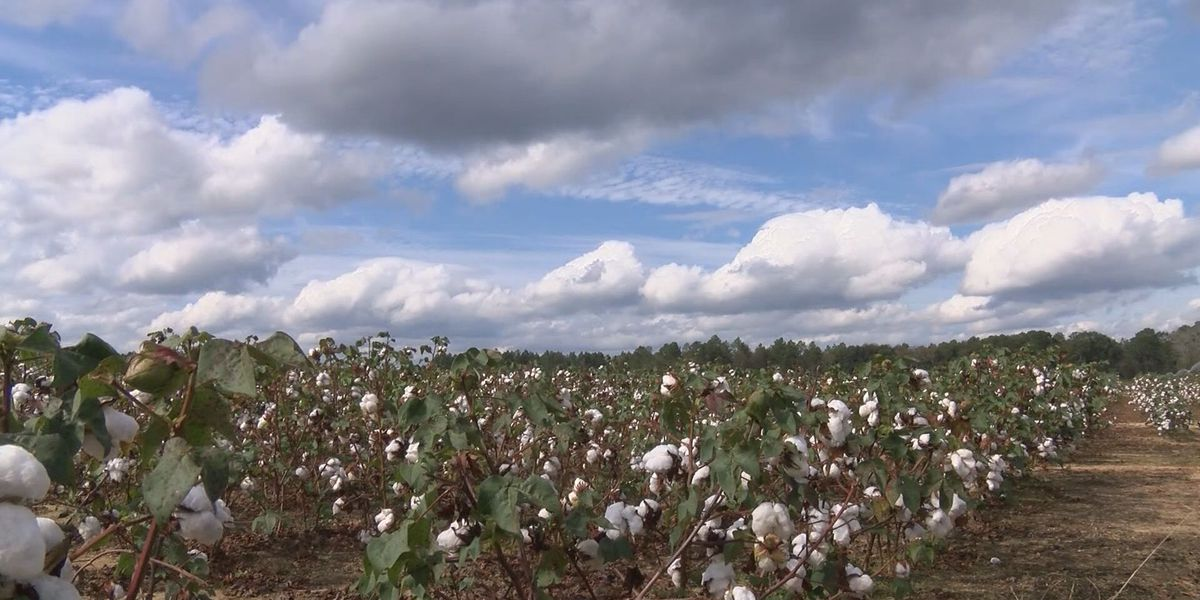 Nestor's impact on local cotton farms