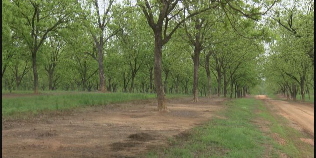 Pecan prices soar as foreign demand increases